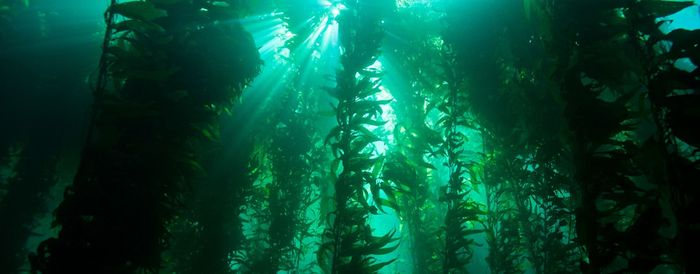 Kelp forest / Credit : NOAA's National Ocean Service