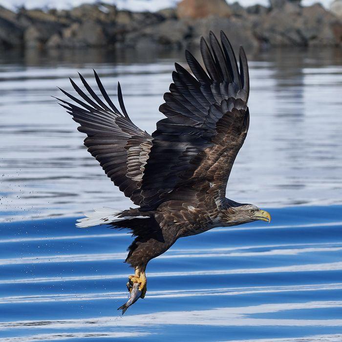 A white-tailed eagle.