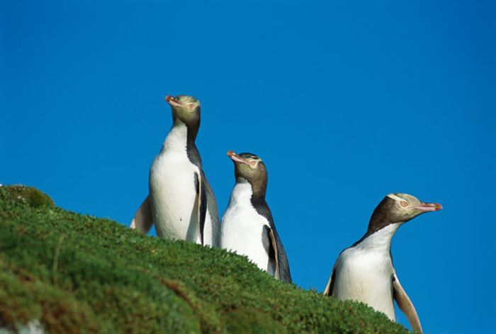 New Zealand's yellow-eyed penguin is dwindling in numbers.
