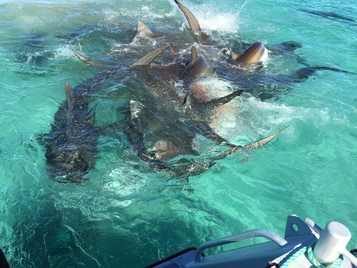 A humpback whale was the main dish for dozens of tiger sharks in Shark Bay near the coast of Western Australia.