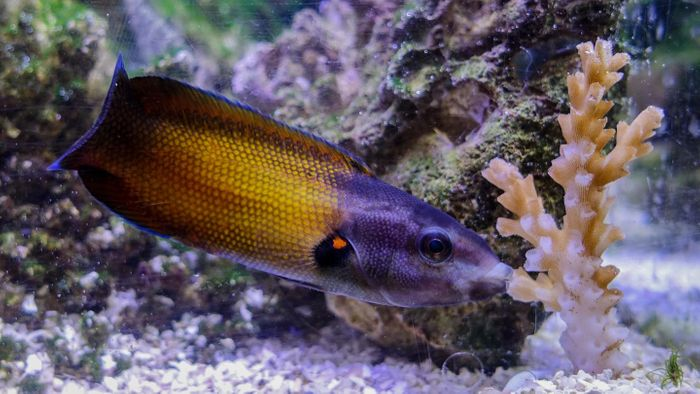 The tubelip wrasse has unique lips that allow it to suck on coral without being stung.