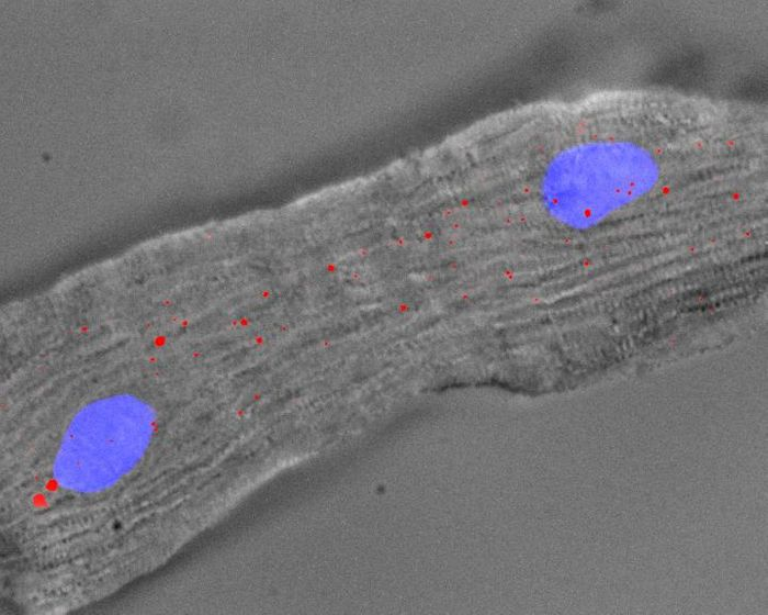 A mouse heart cell with 2 nuclei (blue) and Singheart RNA labelled by red fluorescent dyes. Credit: A*STAR's Genome Institute of Singapore