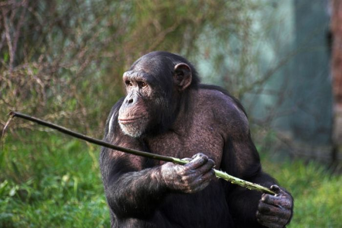 Chimpanzees use tools to look for food.