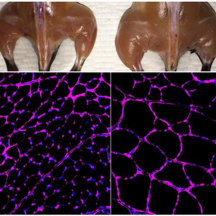The Belmonte lab's advanced in vivo Cas9-based epigenetic gene activation system enhances skeletal muscle mass (top) and fiber size growth (bottom) in a treated mouse (right) compared with an independent control (left). The fluorescent microscopy images at bottom show purple staining of the laminin glycoprotein in tibialis anterior muscle fibers. / Credit: Salk Institute
