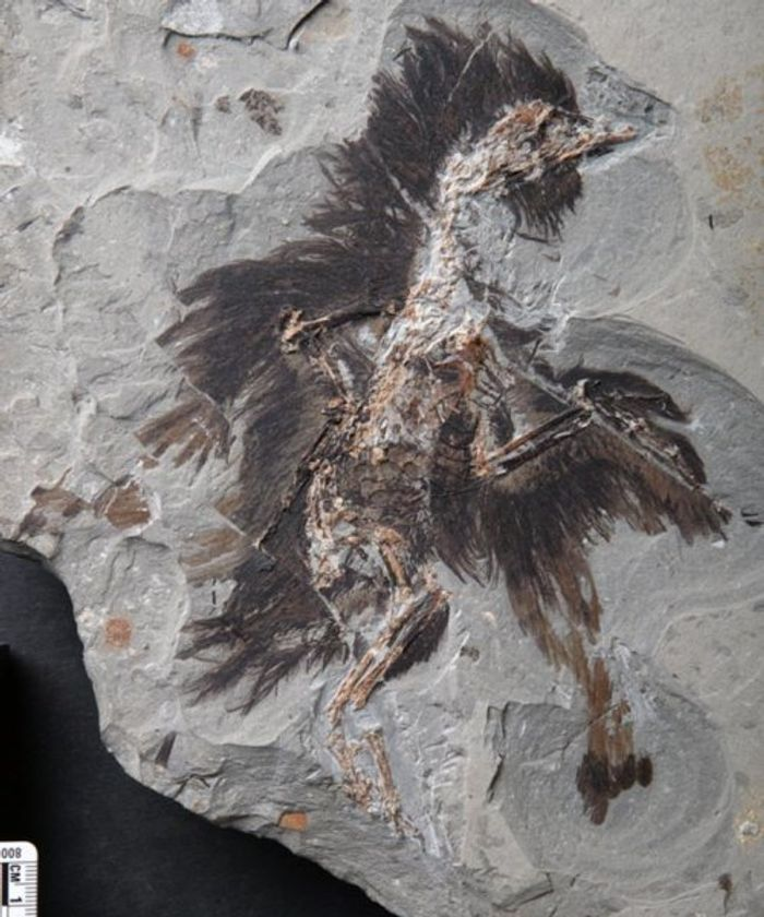 An eoconfuciusornis fossil, well preserved.