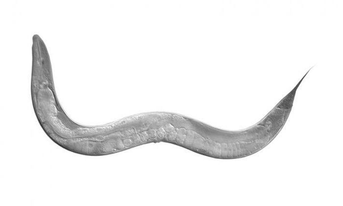 An image of C. elegans / Image credit: Luisa Scott/University of Texas at Austin