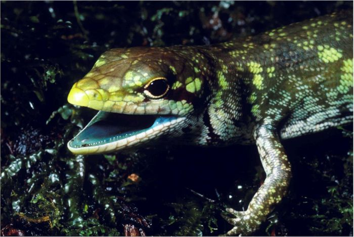 Prasinohaema prehensicauda is just one example of a green-blooded skink.