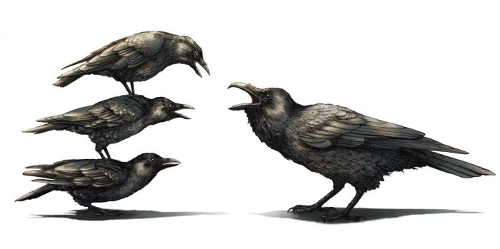 A group of crows antagonize a raven.