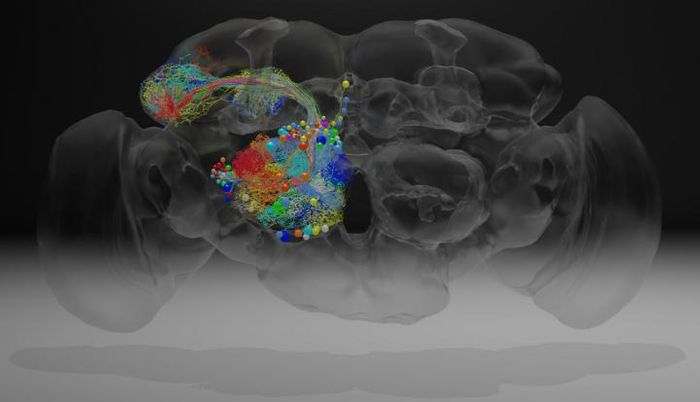 The fruit fly brain contains roughly 100,000 neurons, which can now be traced in detail using a dataset that includes roughly 21 million images. Janelia scientists traced the paths of neurons (colored threads) that reach out to the mushroom body, a region involved in memory and learning. / Credit: Z. Zheng et al./Cell 2018