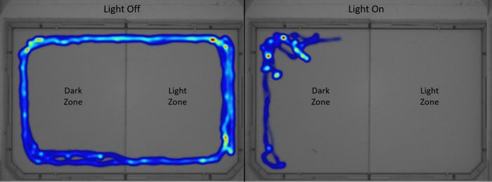 Left: Light off = entire arena is dark, E. marinus uses both zones equally. Right: Light on = half arena is light and half is dark, E. marinus spends more time in the dark zone. / Credit: University of Portsmouth