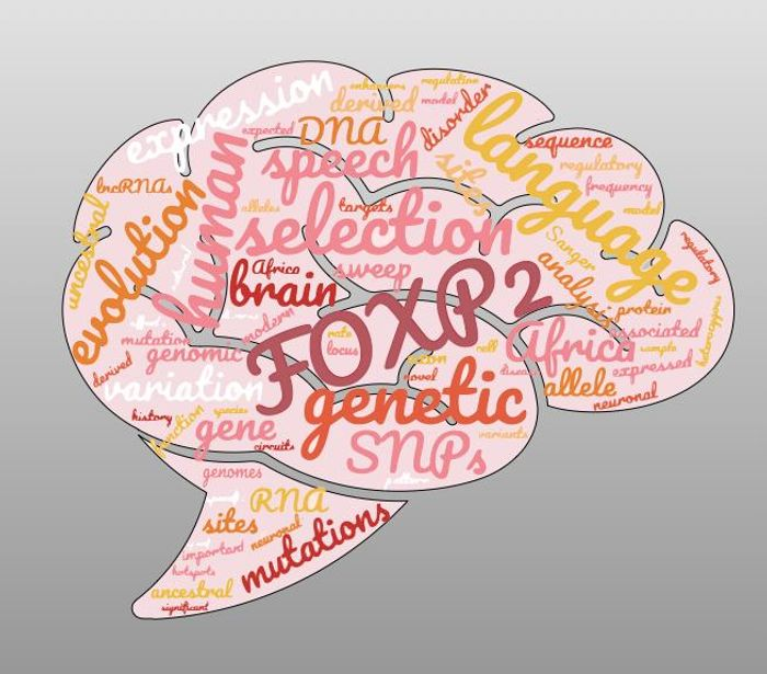 What makes us human? The FOXP2 gene has been associated with uniquely human language abilities. But a new study with a wider variety of people shows no evidence of selection for FOXP2 in modern humans. / Credit: Brenna Henn, UC Davis