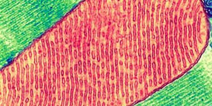 False-color transmission electron micrograph of a mitochondrion inside a cell. / Credit: Thomas Deerinck, National Center for Microscopy and Imaging Research, UC San Diego