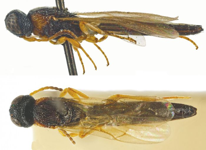 Pictured here is Chromoteleia congoana, the lone example from the 21 new species of parasitoid wasp that hails from Africa.