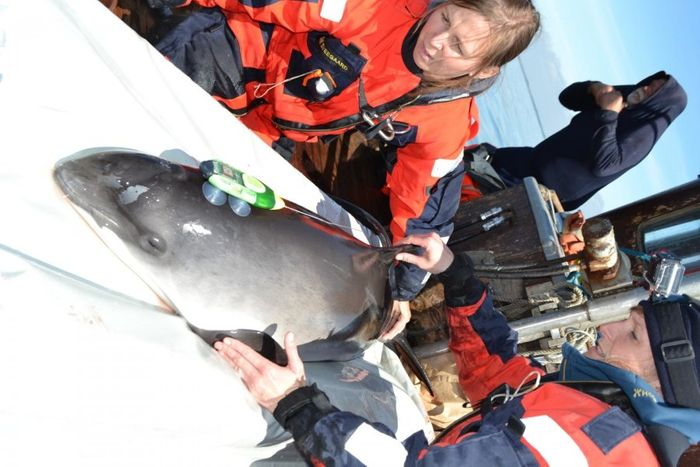 Researchers tagged seven porpoises to learn how ship noise impacts their communication and feeding habits.