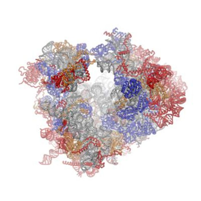 The ribosomal RNA (rRNA) core is represented as a grey tube, expansion segments are shown in red. Universally conserved proteins are shown in blue. / Credit: Wikimedia Commons/Fvoigtsh