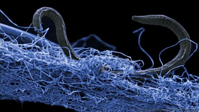 A nematode (eukaryote) in a biofilm of microorganisms. This unidentified nematode (Poikilolaimus sp.) from Kopanang gold mine in South Africa, lives 1.4 km below the surface. / Credit: Gaetan Borgonie, Extreme Life Isyensya, Belgium