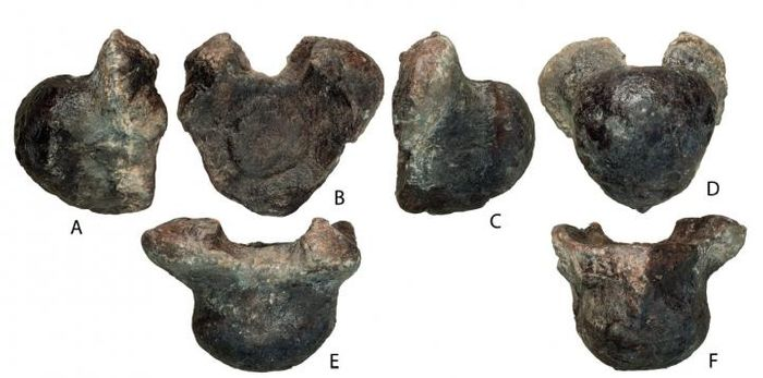 The seven vertebrae of the newly-discovered sauropod.