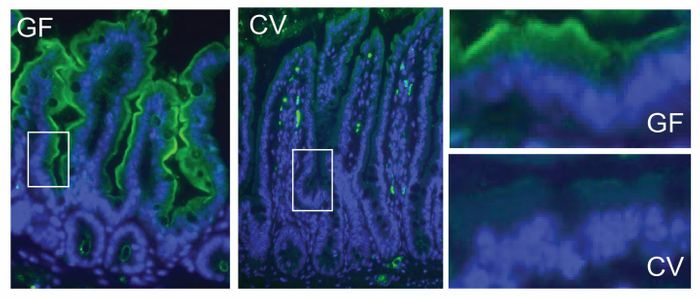 Brown researchers found that the amount of vitamin A-converting protein, shown in green, varied between the guts of normal mice (CV) and mice without gut bacteria (GF). / Credit: Vaishnava Lab/Immunity