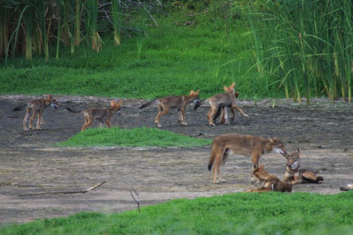Wildlife biologist Ron Wooten spotted this pack of canines on Galveston Island, Texas, in a region where red wolves were declared regionally extinct more than 35 years ago. / Credit: Courtesy of Ron Wooten