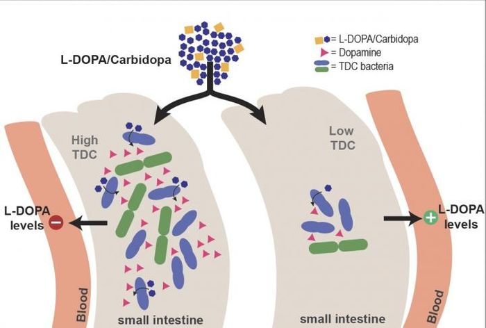 The presence of more bacteria producing the tyrosine decarboxylase (TDC) enzyme means less levodopa in the bloodstream.  / Credit: S. El Aidy, University of Groningen