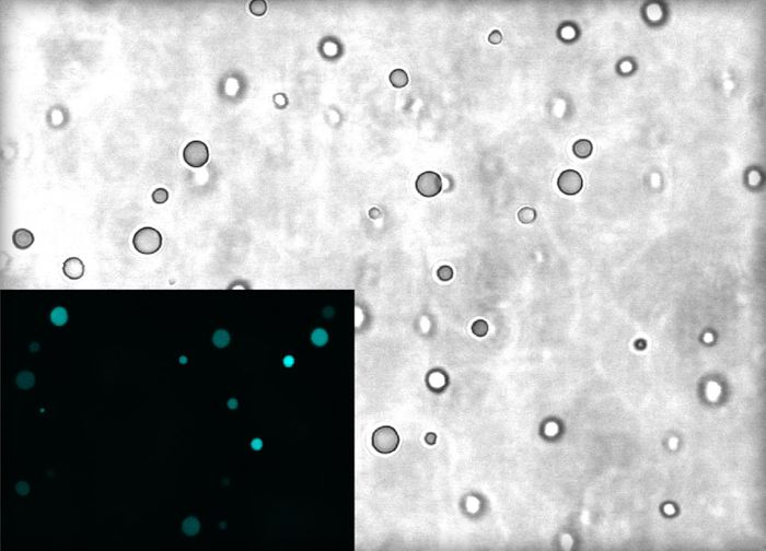 The Image shows droplets of complex coacervates as seen under a microscope. The inset shows RNA molecules (cyan) are highly concentrated inside the droplets compared to the surrounding (dark). At roughly 2-5 micrometers in diameter, the droplets are about 14-35 times thinner than human hair. / Credit: Bevilacqua Laboratory, Penn State
