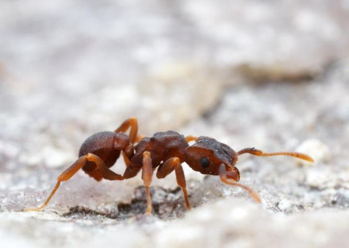 This is a Cyphomyrmex ant. These fungus-growing ants harbored a microbe that made the newly discovered antibiotic cyphomycin. / Credit: Alec Wild