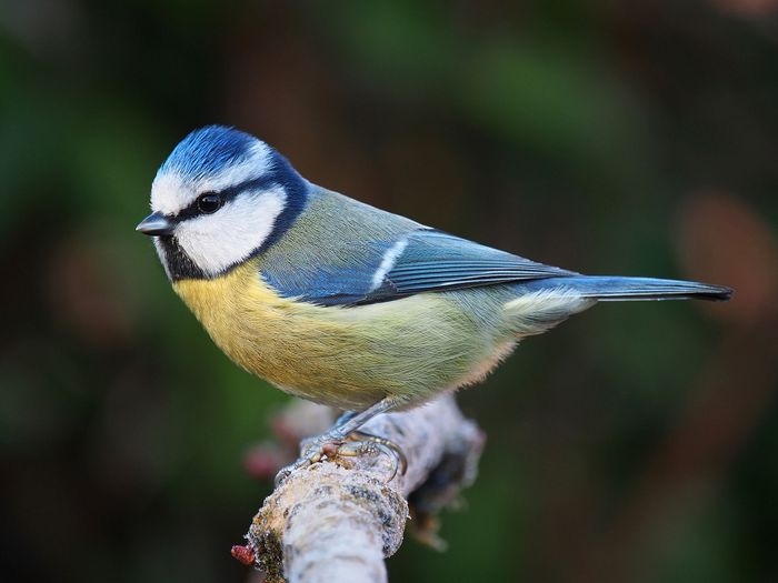 The blue tit is one of the species of birds used in the research to learn more about birds' eyesight.