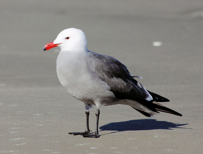 Heermann's Gull is a type of seabird used in this study.