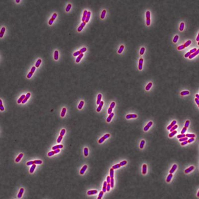 This is E. coli from the strain used in this study. The cell wall is shown in red and DNA is shown in blue. / Credit: Petra Levin laboratory, Washington University in St. Louis