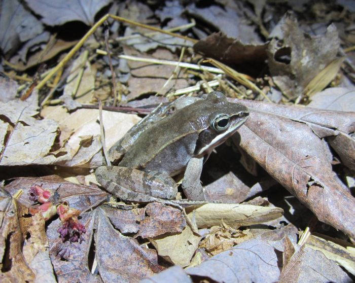 Wood frogs in Maryland gave UCF Assistant Professor Anna Savage and her team clues about an Ebola like disease hitting frogs around the world. / Credit: Carly Muletz-Wolz