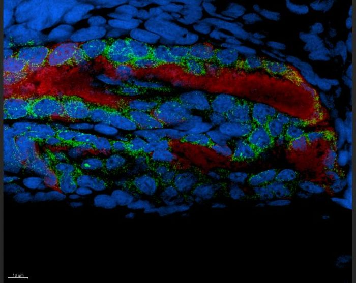 Confocal image showing the localized, symbiont-triggered response by the light-organ epithelium. Luminous symbionts (red) induce edema-associated gene expression (green) in adjacent host epithelium (nuclei, blue.)  / Credit: Silvia Moriano-Gutierrez, UH Mānoa/ SOEST/ PBRC.