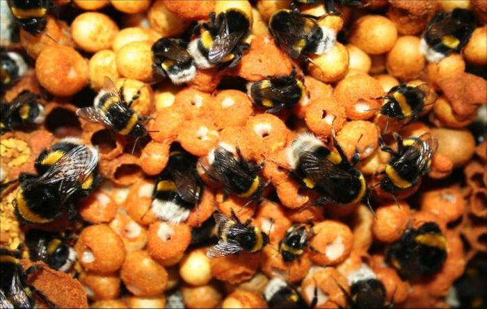 Bumblebee colony. / Credit: TJ Colgan