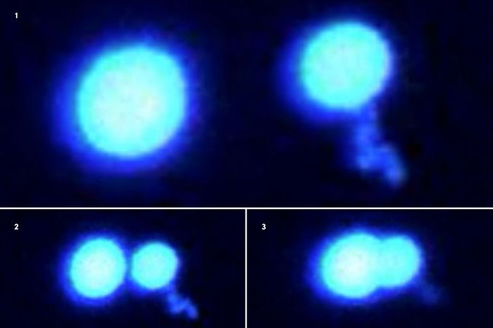 Two protein droplets won't merge when pushed together (1-3). FUS droplets are in a hard, gel-like state as they sit in a crowded solution. State-of-the-art optical tweezing technology were used to manipulate these protein micro-droplets. / Credit: Priya Banerjee Lab at UB