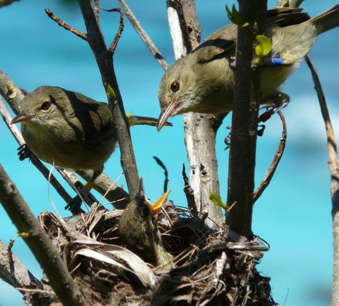 A Seychelles warbler family / Credit: Janske Van De Crommenacker