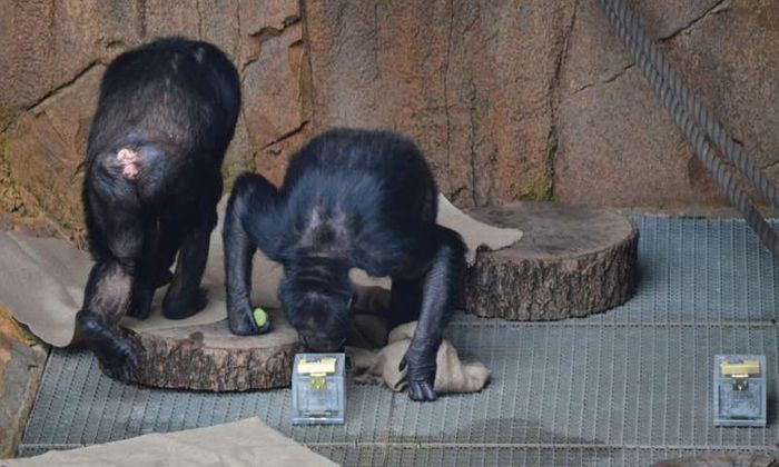 A curious chimpanzee investigates a scent sample provided by researchers.