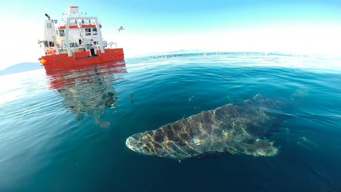 A live Greenland Shark that was released back into the wild by the fishing boat crew.