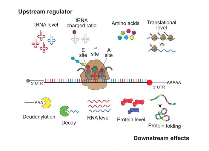 A new study using human cell lines provides insight on how instructions embedded within mRNA messages can affect mRNA levels, mRNA stability, and protein production in a translation-dependent manner. / Credit: Bazzini Lab