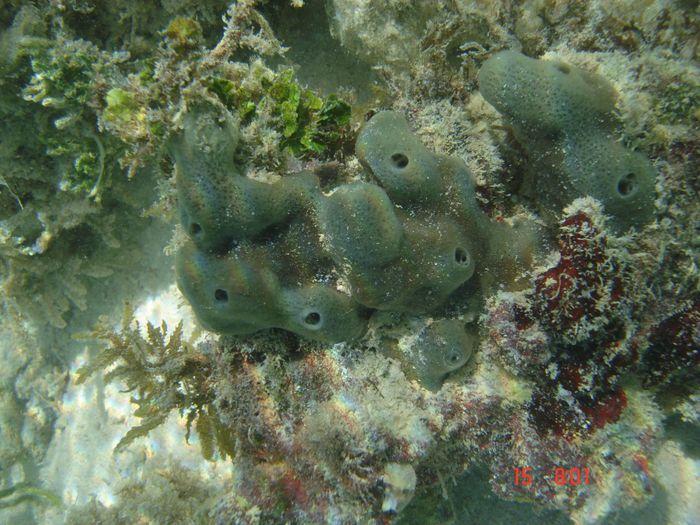 This is an image of the adult sponge Amphimedon queenslandica. / Credit: The University of Queensland