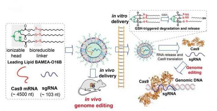 Lipids formulated with a bioreducible linker form the wall of nanoparticles encapsulating Cas9 mRNA and sgRNA. Linkers are broken upon entering cell in vitro or in vivo, the particles disintegrate, contents are delivered and used by the cell. / Credit: Qiaobing Xu, Tufts University