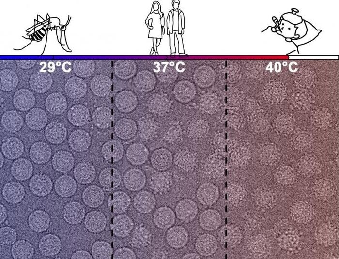 Micrographs of DENV2 with different surface particles when incubated at different temperatures - the physiological temperatures of mosquitoes (29°C, left), human (37°C, middle) and humans with a high fever (40°C, right). / Credit: Xin-Ni Lim, Emerging Infectious Diseases Program