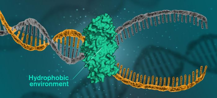 For DNA to be read, replicated or repaired, DNA molecules must open themselves. This happens when the cells use a catalytic protein to create a hydrophobic environment around the molecule. / Credit: Illustration: Yen Strandqvist/Chalmers University of Technology