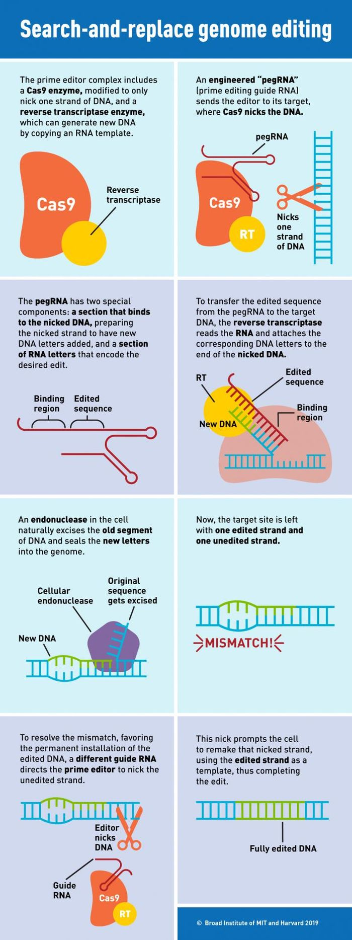 'Prime editing' combines two key proteins and a new RNA to make targeted insertions, deletions, and all possible single-letter changes in the DNA of human cells / Credit: Susanna Hamilton, Broad Institute