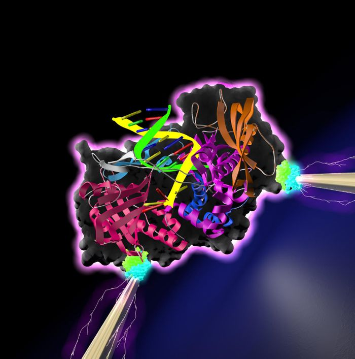 A DNA polymerase - an enzyme that synthesizes DNA molecules from nucleotide building blocks--is poised between a pair of electrodes. / Credit: Lindsay lab