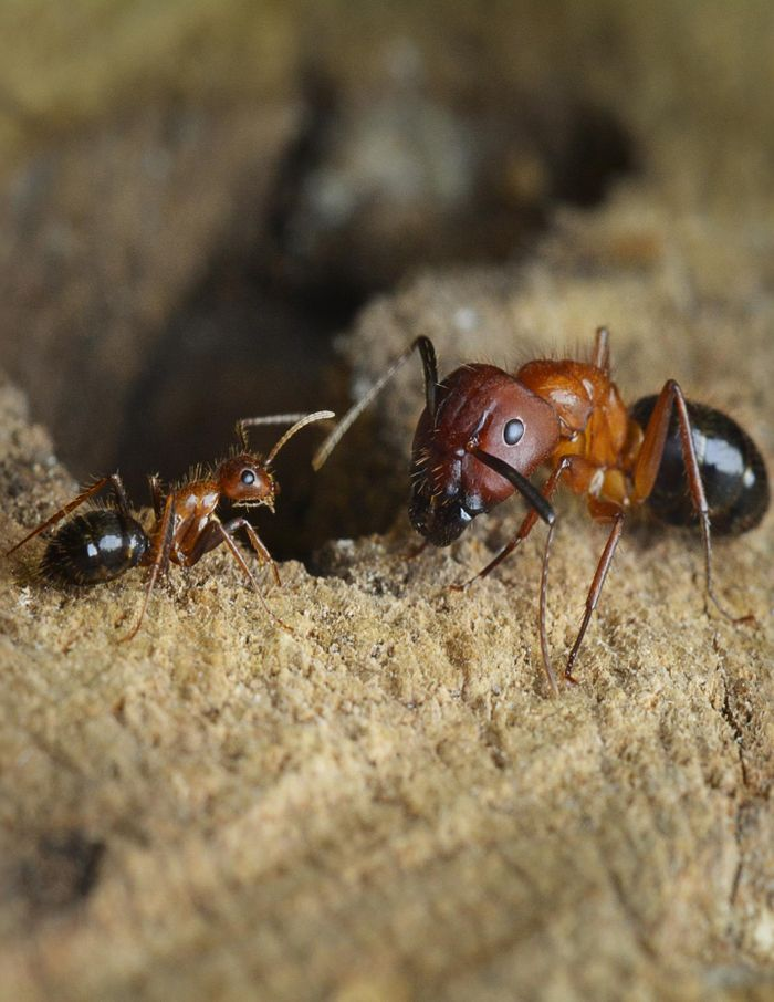 This photograph shows Minor (left) and Major (right) C. floridanus workers. Typically, Minor workers perform the vast majority of foraging, while Major workers defend the nest from intruders and rarely forage for food./ Credit: Riley Graham