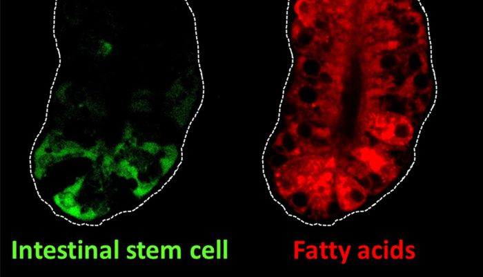 This image shows intestinal stem cells (green) and fatty acids (red) in the intestine of mice. Intestinal stem cells can self-renew and they fuel complete turnover of the intestinal lining every three to five days. Fatty acids are an important nutrient source for the self-renewal of intestinal stem cells.  / Credit: Lei Chen