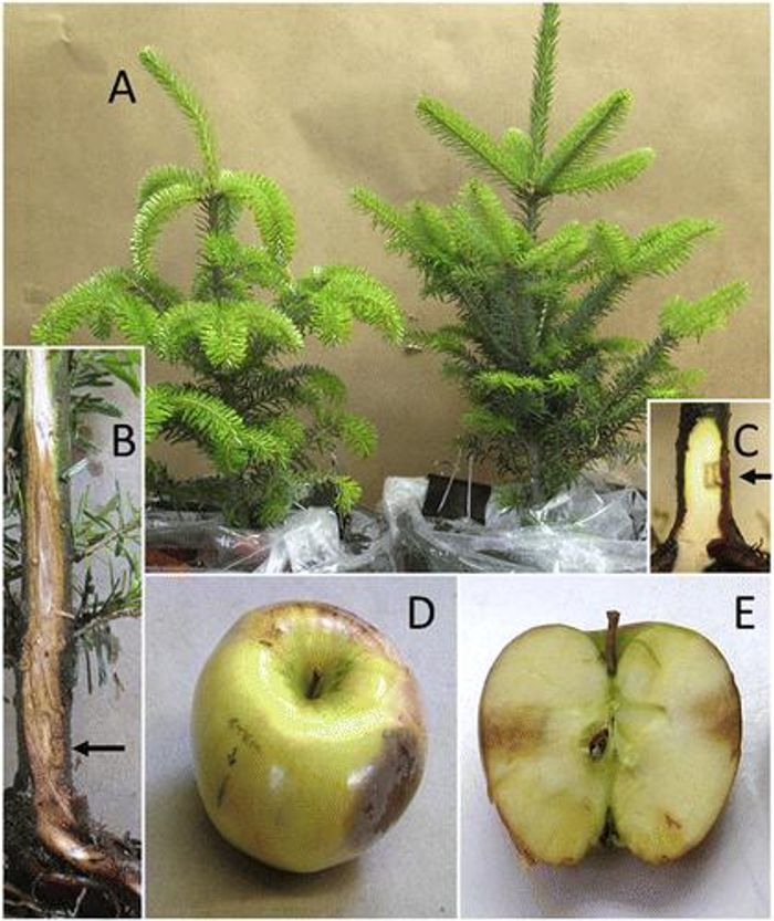 Representative potted Abies fraseri and inoculated apples (used for Koch's postulates, which demonstrate a causative relationship between a microbe and a disease). / Credit: De-Wei Li, Neil P. Schultes, James A. LaMondia, and Richard S. Cowles