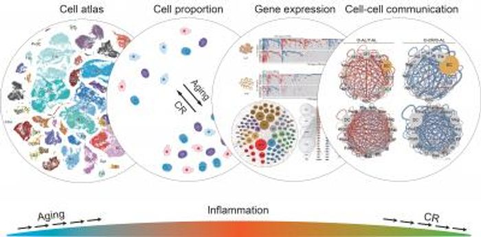 the ways in which caloric restriction affects various aspects of cellular function, with the overall result of reducing inflammation and the activity of many aging-related genes. / Credit: Salk Institute
