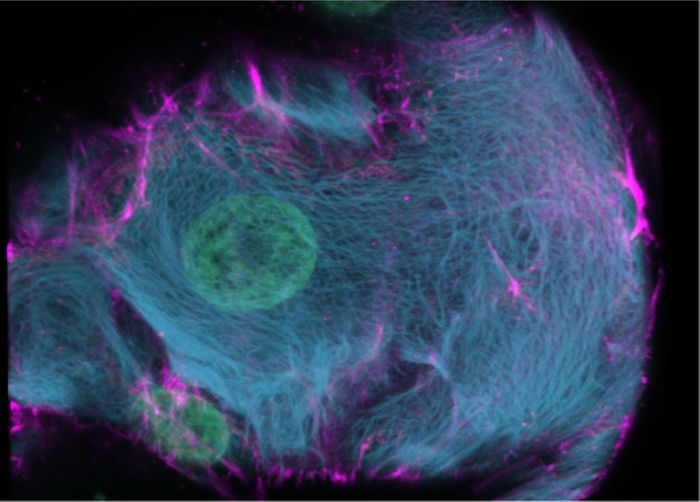 By coloring keratins, a protein that marks the skeleton of cells, the fine structural details of the skeleton (blue) in human liver ductal cells becomes visible. / Credit:  Benedetta Artegiani, Delilah Hendriks, ©Hubrecht Institute