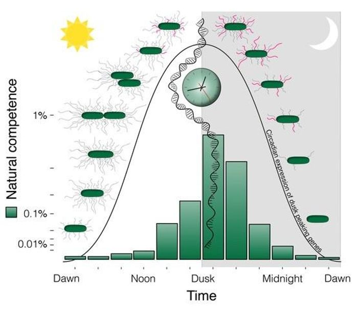 New research provides a striking example of the importance of keeping the internal biological clock aligned with the external environment so that processes occur at the right time of day. / Credit: Golden Lab, UC San Diego