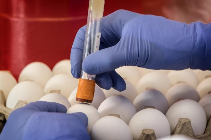 A 2019 photo of a CDC scientist using a needle to punch a hole into a fertilized chicken egg. Influenza virus will be injected into the egg through this hole. It will multiply in the egg. CDC scientists use eggs to grow influenza viruses for lab studies. / Credit: CDC/Robert Denty / Photo Credit: James Gathany